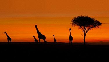 IBLUSK03522353 Giraffes (Giraffa camelopardalis), silhouettes at sunrise, Massai Mara, Serengeti, Rift Valley province, Kenya, Africa