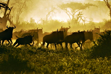 IBLUSK03541360 Migrating herd of Blue Wildebeest (Connochaetes taurinus) in the evening haze, Serengeti, Tanzania, Africa