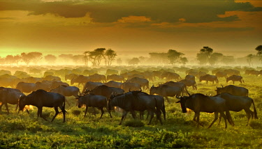 IBLUSK03541470 Migrating herd of Blue Wildebeest (Connochaetes taurinus) in the evening haze, Serengeti, Tanzania, Africa