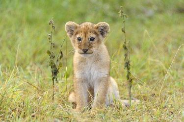 IBLUSK03561644 Lion (Panthera leo) cub, Massai Mara, Serengeti, Rift Valley province, Kenya, Africa