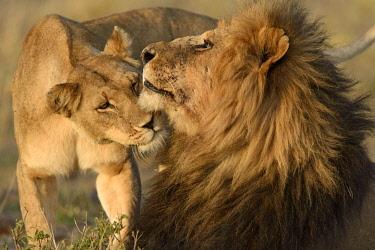 IBLUSK04192151 Lions (Panthera leo), sniffing each other, Maasai Mara National Reserve, Narok County, Kenya, Africa