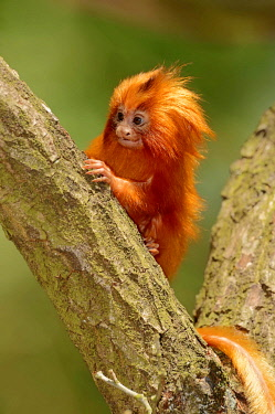 IBLCHT03826077 Golden Lion Tamarin (Leontopithecus rosalia), young, captive, Germany, Europe
