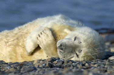 IBLENH02132568 Grey Seal (Halichoerus grypus), pup, Heligoland, Schleswig-Holstein, Germany, Europe