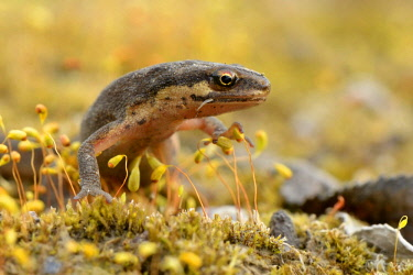 IBLFFI03093279 Smooth newt (Lissotriton vulgaris) between moss spores, Ruhr district, Dortmund, Ruhr district, North Rhine-Westphalia, Germany, Europe