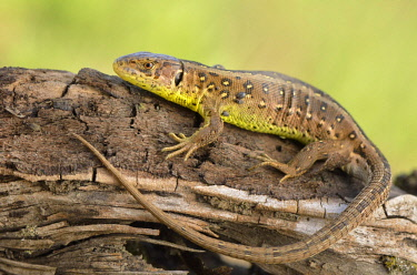 IBLFFI03581620 Sand Lizard (Lacerta agilis), female, basking in the sun, just before egg deposition, Dortmund, Ruhr district, North Rhine-Westphalia, Germany, Europe