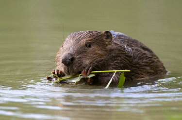 IBLFOX03335743 European Beaver (Castor fiber) in the water chewing on a willow branch, Tyrolean Unterland, Tyrol, Austria, Europe