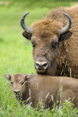 IBLFSO02395784 European Bisons (Bison bonasus), a cow with a calf, at a game reserve, Germany, Europe