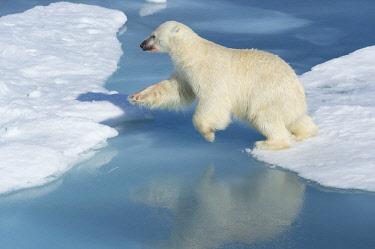 IBLGAB04396472 Male polar bear (Ursus maritimus) on ice, jumping across water, blood on nose, Spitsbergen, Svalbard, Norway, Europe