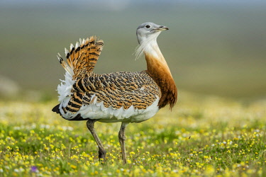 ibxcpa03768301 Great Bustard (Otis tarda), Extremadura, Spain, Europe