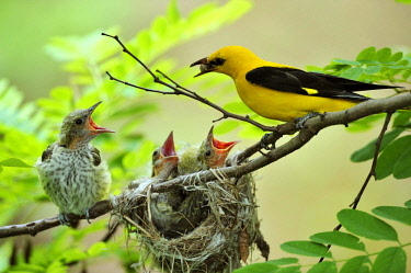 Golden Orioles (Oriolus oriolus), young bird, chick, begging, adult male feeding the birds with a white mulberry, nest in an acacia tree, Bulgaria, Europe