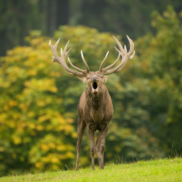 ibxfso03927067 Red Deer (Cervus elaphus), roaring during the rut, captive, Lower Saxony, Germany, Europe
