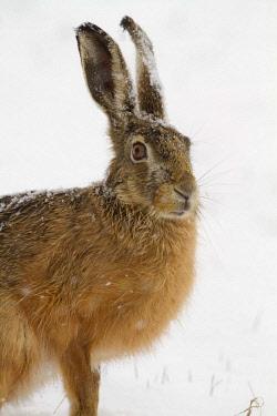ibxgwt03165939 European Hare (Lepus europaeus) in the snow, Burgenland, Austria, Europe