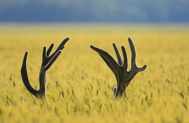 ibxkra03766885 Antlers of a Red Deer (Cervus elaphus) in a grain field, Lower Austria, Austria, Europe