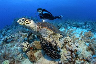 ibxnpr03943259 Scuba diver watching a Loggerhead Sea Turtle (Caretta caretta) at the dive site of Shaab Sharm, eastern plateau, Red Sea, Egypt, Africa