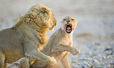 ibxpde03959827 African Lions ( Panthera leo), adult male and female, courtship behavior, Etosha National Park, Namibia, Africa