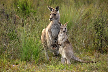 ibxson03942102 Eastern Grey Kangaroo (Macropus giganteus) mother with young, Wilsons Promontory National Park, Victoria, Australia, Oceania