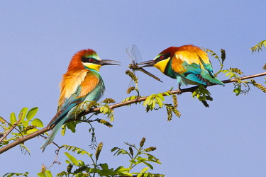 ibxwma03799396 European Bee Eaters (Merops apiaster), feeding during courtship, male passing dragonfly to female, Saxony-Anhalt, Germany, Europe