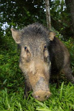 ibxaaa02213181 Wild boar (Sus scrofa), portrait, Malaysia, Asia