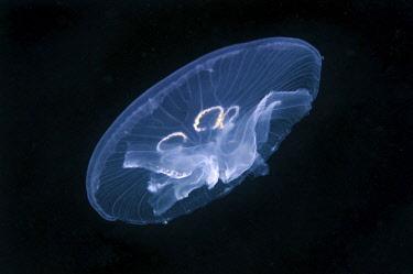 ibxaaa03312471 Common Jellyfish (Aurelia aurita), a genetic mutation, has seven gonads instead of four, Black Sea, Crimea, Ukraine, Europe