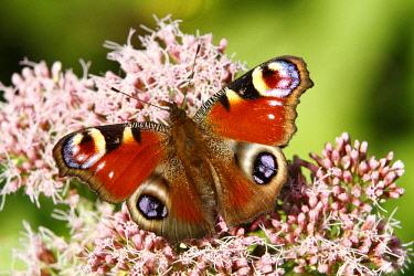 ibxada01645305 European Peacock Butterfly (Inachis io) on an Eupatorium flower