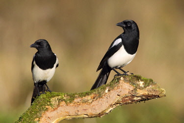 ibxada04036592 Magpie (Pica pica), pair sitting on tree stump, North Rhine-Westphalia, Germany, Europe