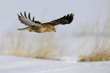 ibxbzo03015457 Common Buzzard (Buteo buteo) in flight over a reed habitat in winter, Swabian Alb biosphere reserve, Baden-Wurttemberg, Germany, Europe