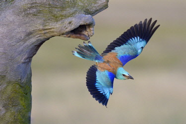 ibxbzo03947544 European roller (Coracias garrulus) departing from its nist cave, Kiskunsági National Park, Hungary, Europe