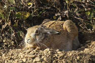 ibxdeh02110114 Hare (Lepus europaeus) in shallow depression or form on the ground, Allgaeu, Bavaria, Germany, Europe