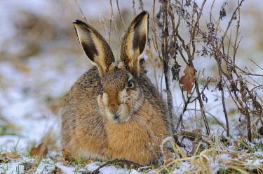 ibxenh01588620 Hare (Lepus europaeus)