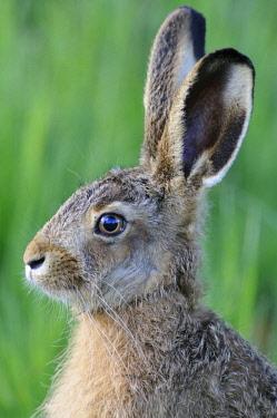 ibxenh01589530 Hare (Lepus europaeus), portrait