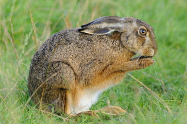 ibxenh01590447 Hare (Lepus europaeus)