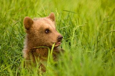 ibxfun00613622 European Brown Bear (Ursus arctos) cub in the grass, captive, Bavaria, Germany, Europe