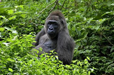 ibxfvp02301159 Western Lowland Gorilla (Gorilla gorilla), Cameroon, Central Africa, Africa