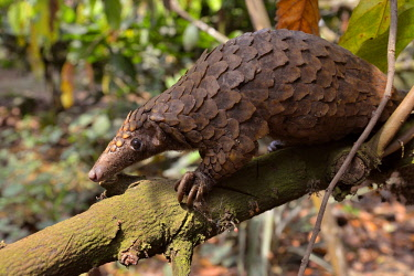 ibxfvp04113542 Long-tailed pangolin (Phataginus tetradactyla), Mangamba, Littoral Province, Cameroon, Africa