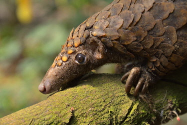 ibxfvp04113543 Long-tailed pangolin (Phataginus tetradactyla), Mangamba, Littoral Province, Cameroon, Africa