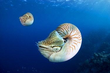 ibxmmx03952776 Palau Nautiluses (Nautilus belauensis), Palau, Oceania