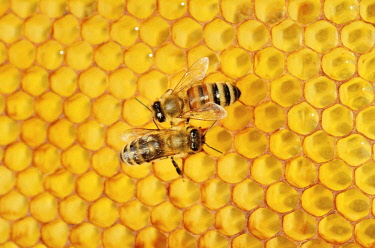 ibxslg03933563 Two honey bees, left, Carnian (Apis mellifera var carnica), right, a hybrid Italian Bee (Apis ligustica bast.) on honeycomb with a propolis coating
