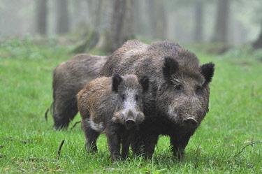 ibxtke04089629 Wild Boar (Sus scrofa), captive, Baden-Wurttemberg, Germany, Europe