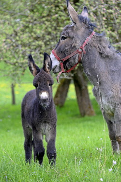 HMS2025668 France, Doubs, Blamont, donkey and its colt in an orchard