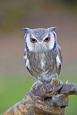HMS1907328 France, Loiret, Sologne, Ligny le Ribault, Northern White faced Owl (Ptilopsis leucotis), White faced Scops Owl,