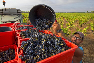 HMS2655931 France, Gard, Saint Gilles du Gard, Costiere de Nimes vineyards, grape harvesting at the Chateau d'Or et de Gueules