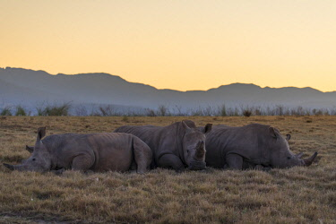 SAF7256AW Rhinoceros at dawn, Botlierskop Private Game Reserve, Western Cape, South Africa