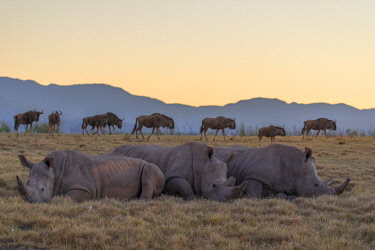 SAF7257AW Rhinoceros and wildebeest at dawn, Botlierskop Private Game Reserve, Western Cape, South Africa