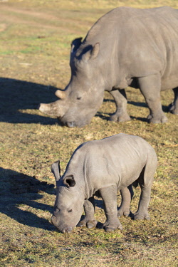 SAF7263AW Adult and baby rhinoceros, Botlierskop Private Game Reserve, Western Cape, South Africa
