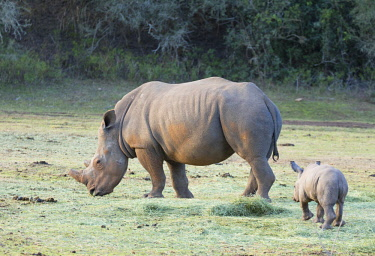 SAF7271AW Adult and baby rhinoceros, Botlierskop Private Game Reserve, Western Cape, South Africa
