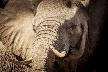 BOT5364AW Wild elephant portrait, Botswana, Africa