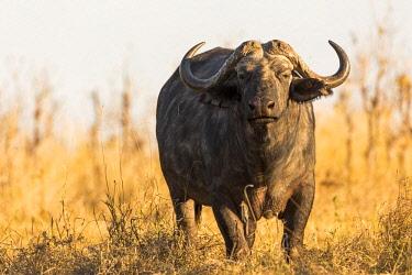 BOT5370AW African Buffalo, Botswana, Africa