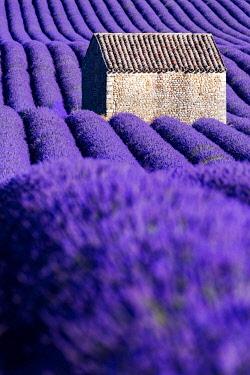 FRA10174AW Valensole Plateau, Provence, France. Lavender field