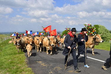 HMS2571481 France, Aveyron, St Chely d'Aubrac, the last weekend of May, the herds graze back for the summer in the mountains of Aubrac, This is the Day of transhumance in Aubrac, the animals Aubrac, are decorate...