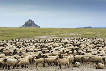 HMS2645810 France, manche, Bay of Mont Saint Michel listed as World heritage by UNESCO, flock of salt meadow sheeps and Mont Saint Michel in the background